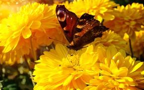 Картинка лето, макро, цветы, бабочка, желтые, сад, насекомое, ярко, георгины