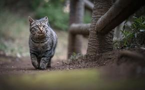 Картинка забор, полосатый кот, гуляет сам по себе