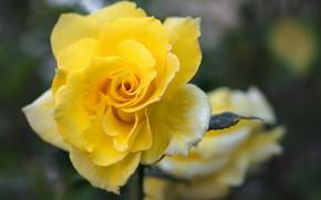 Картинка желтый, яркий, роза, лепестки