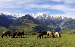 Картинка лес, трава, горы, овцы, Альпы, пастбище, луг, овечки, стадо, барашки, отара, пасутся