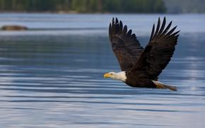 Картинка полет, птица, водоем, белоголовый орлан