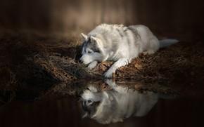 Картинка вода, отражение, Собака, лежит