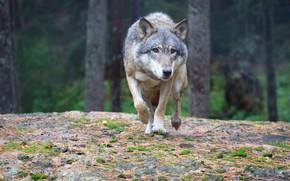 Картинка forest, predator, wolf