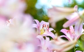 Картинка розовый, нежность, лилии