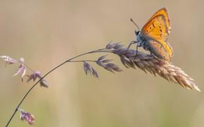 Картинка капли, макро, фон, бабочка, оранжевая, колосок, стебелек