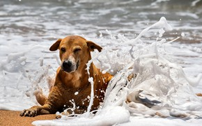 Картинка Dog, Beach, Sea, Spray