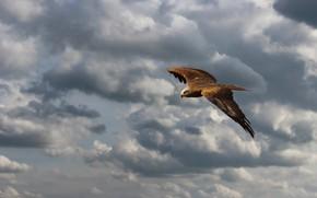 Картинка небо, взгляд, облака, полет, птица, высота, ястреб, хищная, летящий, размах крыльев