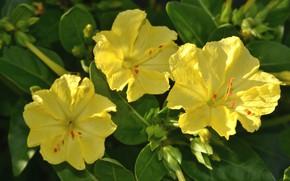 Картинка фон, трио, жёлтые цветы