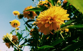 Картинка Flower, Yellow, Summer, Golden ball, Rudbeckia dissected