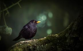 Картинка природа, птица, Blackbird