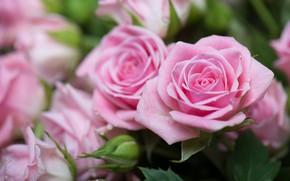 Картинка розы, размытость, розовая роза