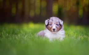 Картинка трава, взгляд, природа, фон, портрет, собака, маленький, малыш, мордочка, щенок, сидит, лужайка, миленький, карапуз