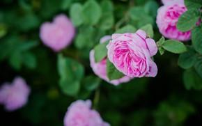 Картинка природа, роза, куст, запах, чайная