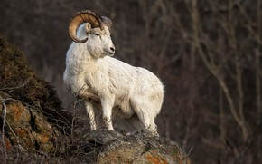 Картинка природа, фон, Dall Sheep