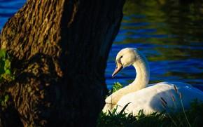 Картинка белый, трава, свет, синий, фон, дерево, птица, берег, темный, лебедь, водоем