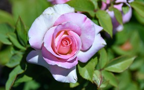 Картинка листья, крупный план, розовая, роза, лепестки, бутон