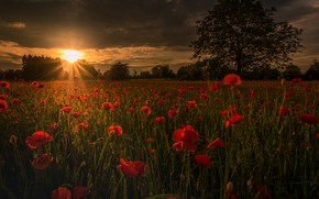 Картинка поле, лето, солнце, свет, деревья, закат, цветы, природа, поляна, мак, маки, размытие, вечер, луг, красные, …