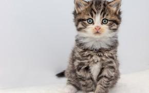 Картинка кошка, взгляд, поза, котенок, серый, милый, белый фон, котёнок, мордашка, сидит, полосатый