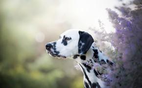 Обои взгляд, морда, свет, цветы, природа, куст, черно-белая, портрет, собака, сад, профиль, далматинец, светлый фон, сиреневые, ...