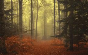 Картинка осень, лес, листья, деревья, ветки, туман, листва, ели, хвоя, ёлки, еловые лапы, осенняя природа