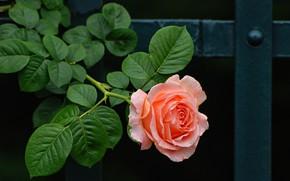Картинка цветок, листья, металл, темный фон, розовая, забор, роза, ветка, бутон, опора, лососевая