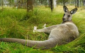 Картинка трава, взгляд, поза, Австралия, кенгуру, лежит