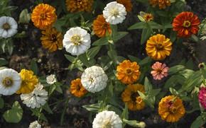 Картинка цветы, клумба, циннии