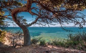 Картинка море, ветки, дерево, берег, сосна