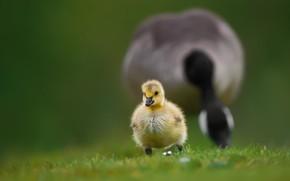 Картинка трава, птица, малыш, прогулка, птенец, гусь, боке, гусёнок, Канадская казарка