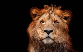 Обои глаза, взгляд, морда, крупный план, портрет, лев, черный фон, дикая кошка, львенок, львёнок, молодой, подросток