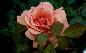 Картинка цветок, листья, макро, темный фон, розовая, роза, лососевая