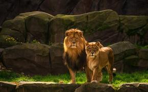 Обои камни, скалы, львица, лев, пара, дикие кошки, два льва, природа, львы, взгляд