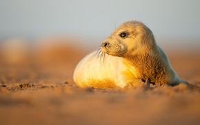 Картинка взгляд, свет, берег, тюлень, мордашка, морской котик, детеныш