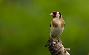 Картинка птица, щегол, птаха