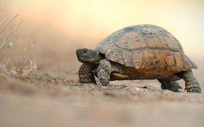 Картинка дорога, фон, черепаха, светлый, прогулка, черепашка, ползет, сухопутная