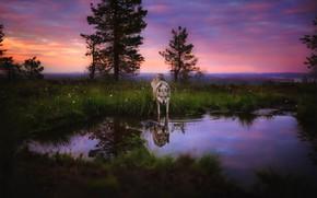 Картинка природа, отражение, волк, собака, водоем, волчья собака