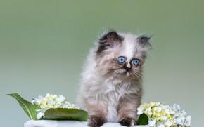 Картинка кошка, взгляд, цветы, поза, котенок, голубые, котёнок, мордашка, сидит, гортензия, голубоглазый, персидский, экстремал