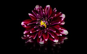 Картинка отражение, красная, малиновая, цветок, черный фон, георгина, бордовая