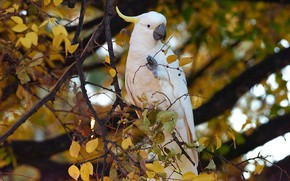 Картинка листья, ветки, птица, попугай, Большой желтохохлый какаду, Какаду