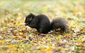 Картинка листья, природа, белка, чёрная, боке, Squirrel Black