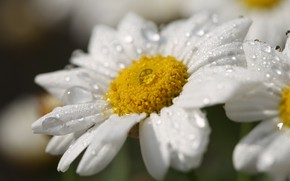 Картинка капли, макро, цветы, ромашки, белые, нивяник