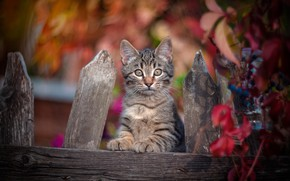 Обои взгляд, забор, котёнок, боке