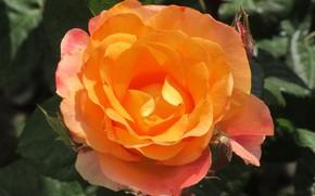 Картинка Роза, Цветок, Оранжевая, Фон, Meduzanol ©, Лето 2018