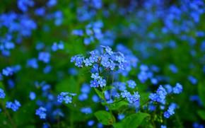 Картинка зелень, листья, цветы, поляна, весна, голубые, синие, много, боке, незабудки