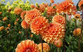 Картинка лето, цветы, сад, оранжевые, клумба, много, боке, георгины