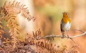 Картинка листья, фон, птица, оранжевая, ветка, папоротник, зарянка