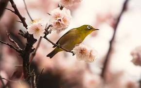 Картинка цветы, ветки, фон, птица, красота, размытие, весна, сакура, птичка, цветение, желтая, боке, японская белоглазка