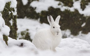 Картинка зима, снег, заяц, беляк