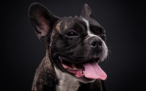 Картинка язык, морда, фон, портрет, собака, Французский бульдог, Евгений Дёгтев
