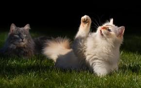 Картинка кошка, трава, кот, взгляд, свет, кошки, поза, котенок, коты, игра, две, портрет, весна, пушистый, рыжий, …